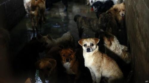 Organizações defensoras dos direitos dos animais tentam proibir o próximo festival chinês de carne de cão