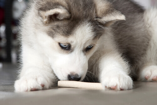 Cachorro cheirando petisco