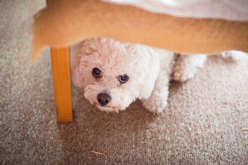Doenças psicológicas que afetam os cães