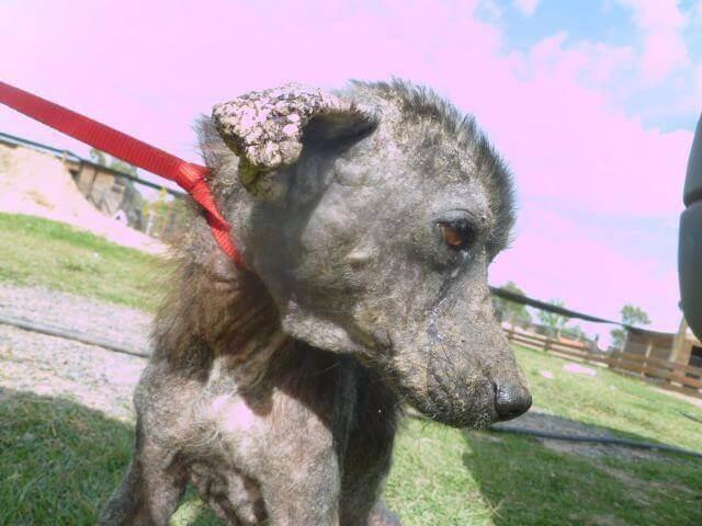cachorro mutilado