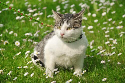 Gato de coleira