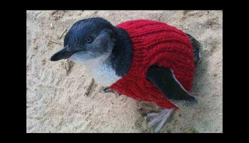 Pinguim com pulover