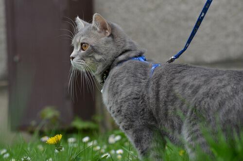 Levar um gato para passear na coleira
