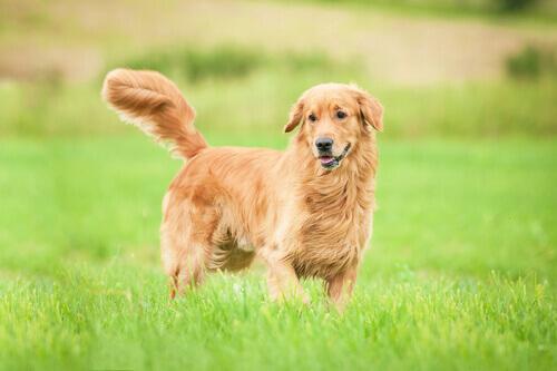 A nobreza dos cães