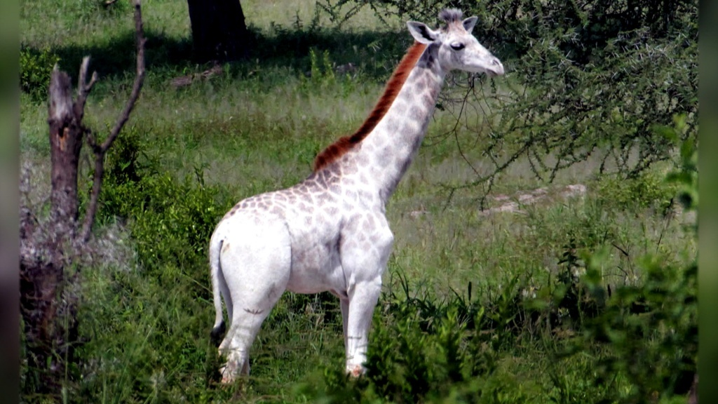 Omo, a primeira girafa branca que não é albina