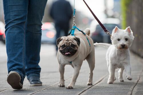 Cachorros passeando
