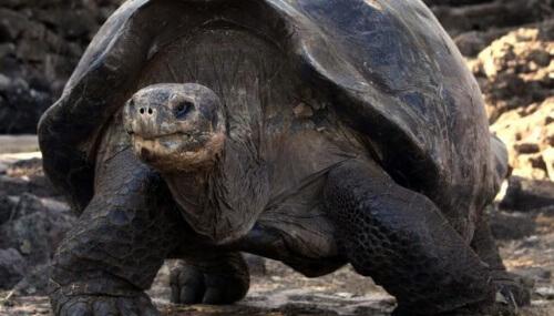 Uma excelente notícia! Pela primeira vez em 100 anos nascem tartarugas em Galápagos