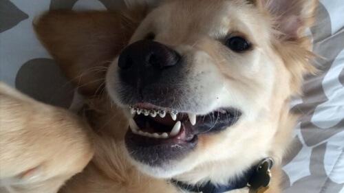 Aparelhos ortodônticos para cachorro? É possível!