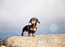 cães de raças pequenas