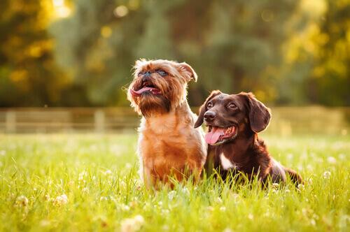 Dois cães na grama
