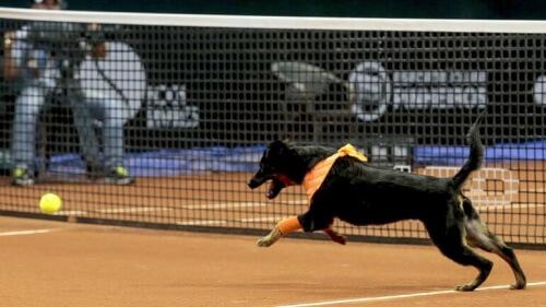 cães-torneio-de-tenis