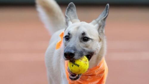 Os cães que trabalham em um torneio de tênis