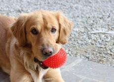 cão deixa de ser filhote