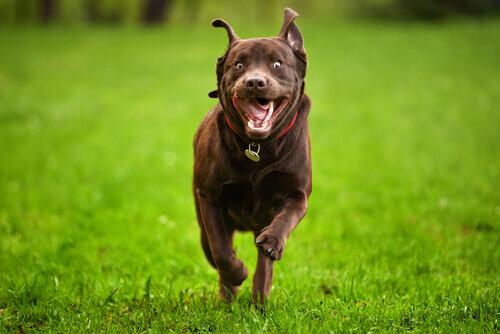 cão hiperativo