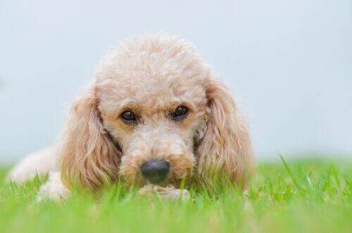 Cães de pequeno porte dominarão o mundo no futuro