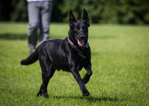 A beleza dos cães pretos