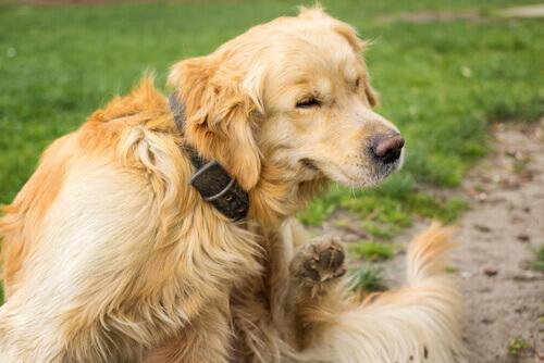 Cão com urticária