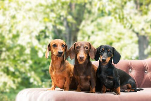 Cães salsicha