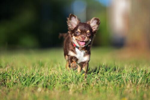 Cão de pequeno porte