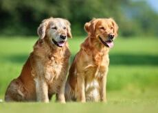 O ciclo reprodutivo das cadelas