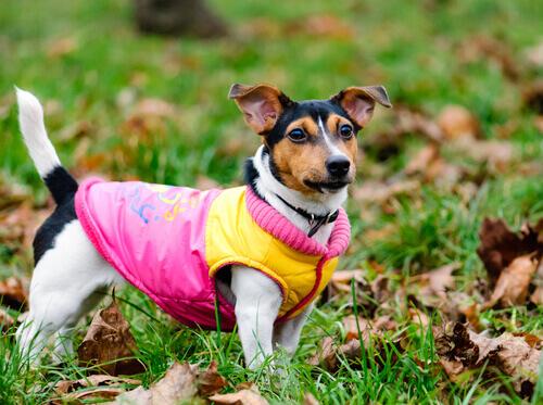desfile de roupas para cães