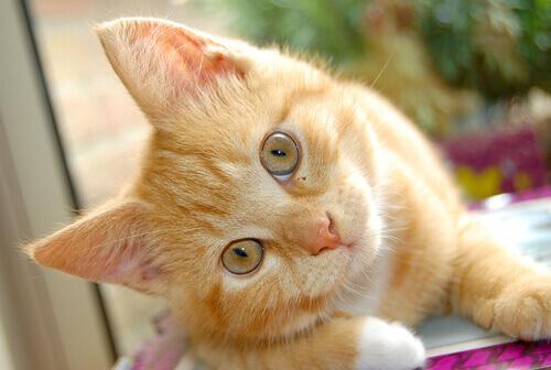 Conheça as doenças do ouvido felino