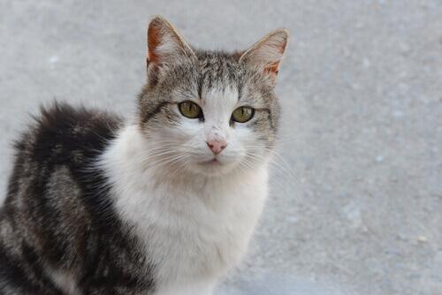 Peritonite infecciosa felina: uma doença que pode matar o seu gato