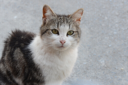 peritonitis-infecciosa-felina