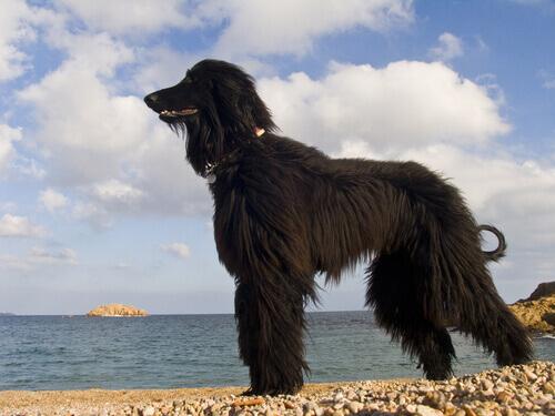 Cachorro peludo