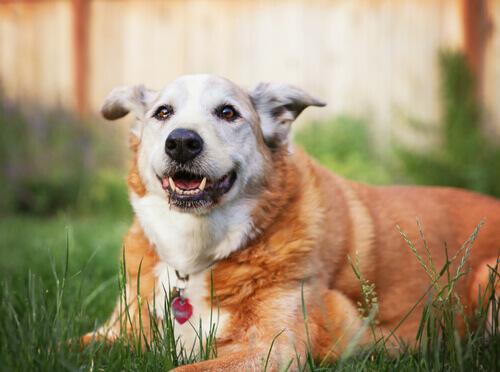 Como determinar o tamanho máximo de um cachorro
