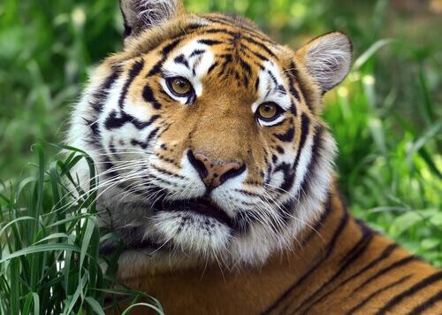 Tigre selvagem: o crescimento do século