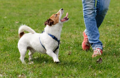 5 truques para que o cão vá quando chamado
