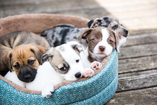Cães adotados no exterior