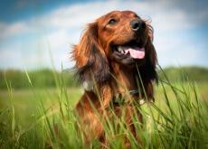 adotar-um-cão