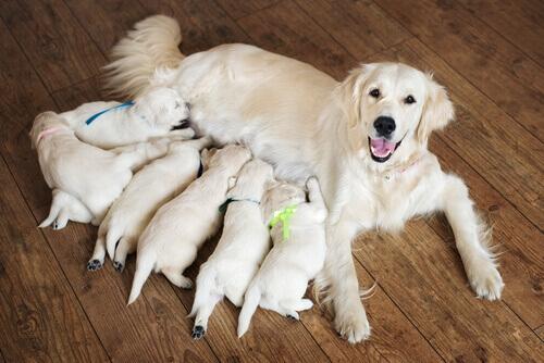 Como ajudar uma cadela a parir