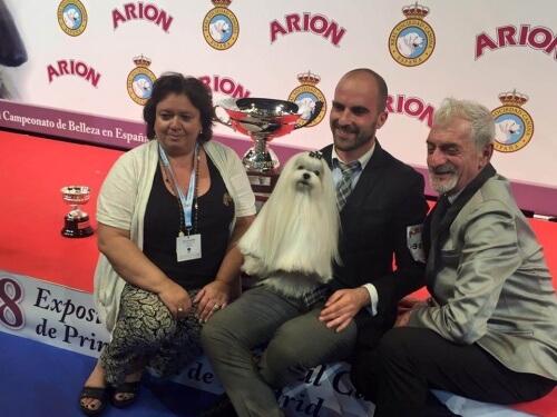 Bichon maltês ganha o concurso de melhor cão da Espanha