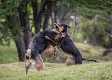 brigas organizadas de cães