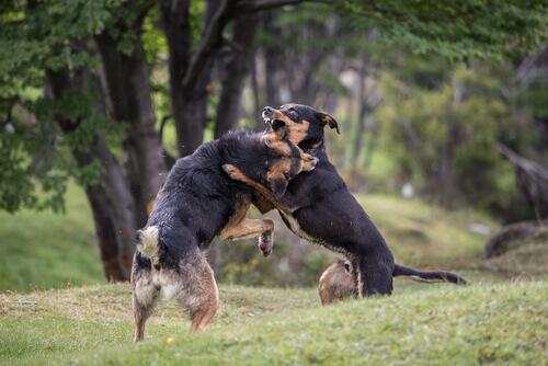 Brigas organizadas de cães, maus tratos no ring