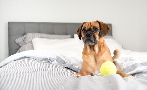 5 coisas que você deve saber antes de deixar seu cão dormir em sua cama