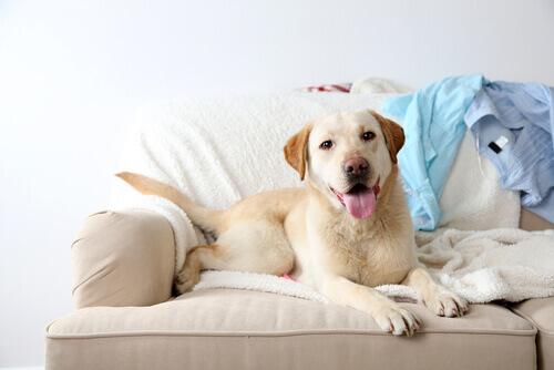 É bom deixar o cão subir no sofá?