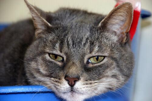 9 doenças comuns nos gatos