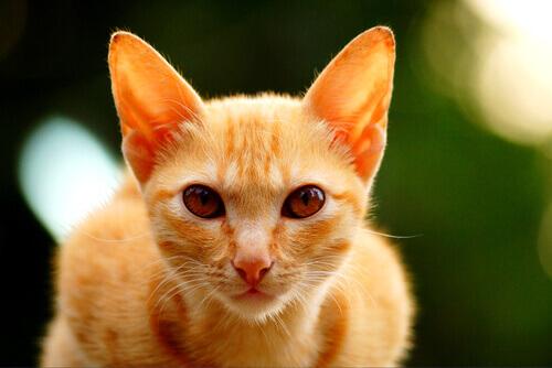 Por que os gatos de cor laranja costumam ser machos?
