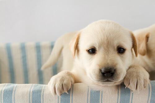Você sabe por que o imprinting é importante na vida de seu cão?