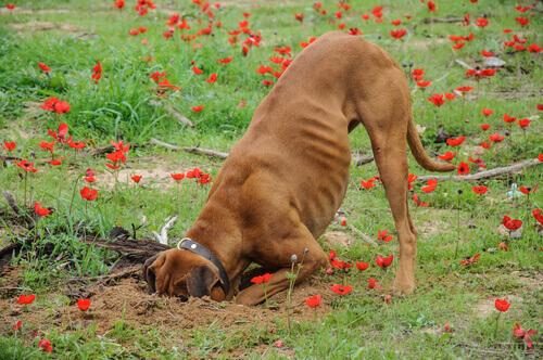 O que fazer se meu cão cava a terra do jardim?