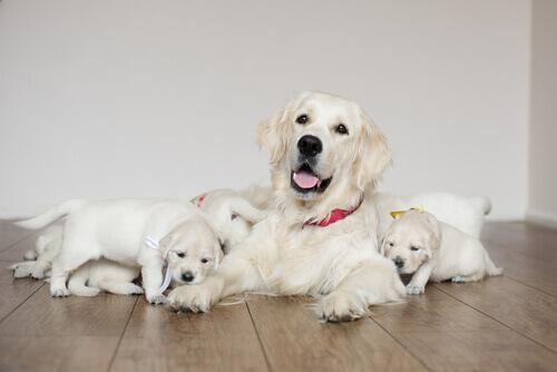 pós-parto-de-una-cadela