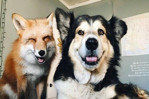 Juniper e Moose, a raposa e o cão que agora são amigos
