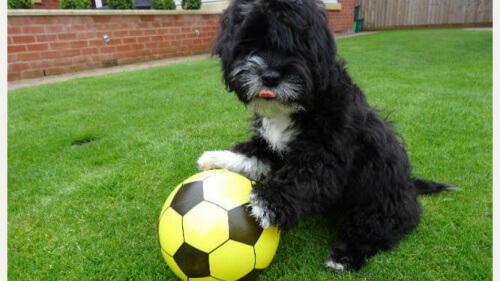 Ronaldog, o cão jogador de futebol