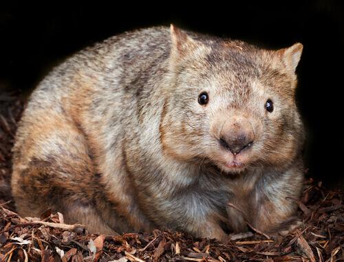 Vombate-australiano-2