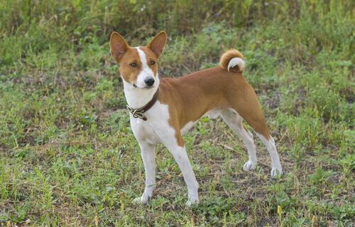 Conheça o Basenji, o cão que não late