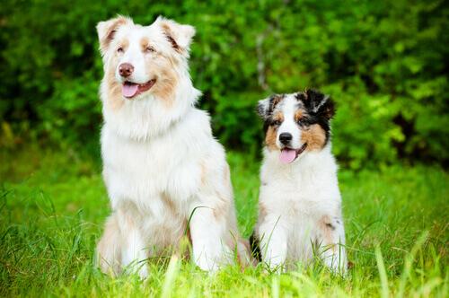 Alzheimer canino